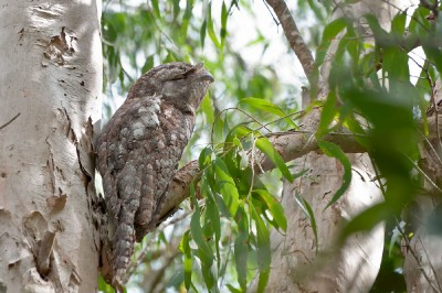 Nightjars and Frogmouths (AUS)