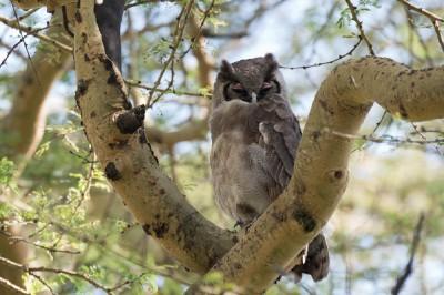 Africa & South America owls