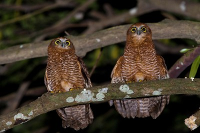 Christmas Island Hawk owls