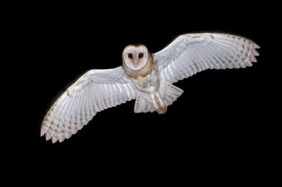 Barn owls_1