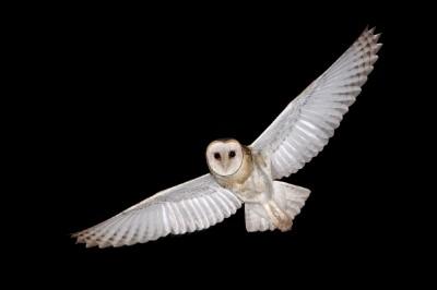 Eastern Barn owls