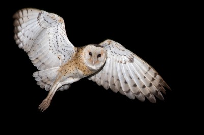 Eastern grass owl_19
