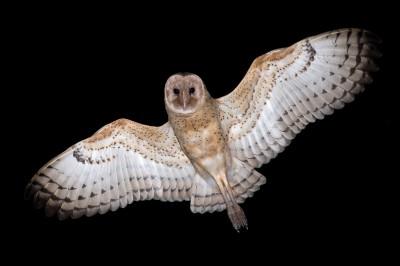 Eastern Grass owls