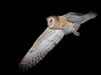 Eastern grass owl_12