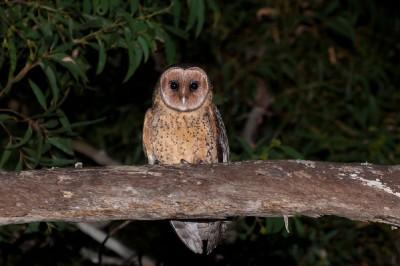 Mainland Masked owls