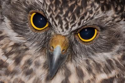 Powerful owl_7