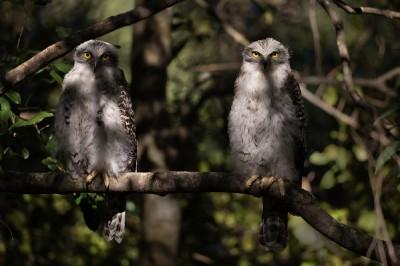 Powerful owl_5