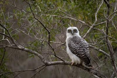 Powerful owl_3