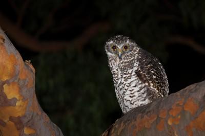 Powerful owl_38