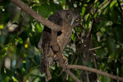 Rufous owls