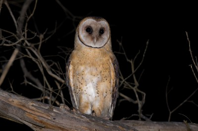 Tasmanian Masked owls